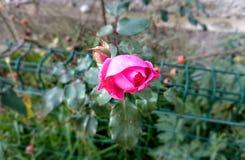S'élever rose a monté Photo libre de droits
