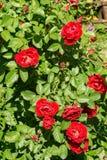 S'élever rouge a monté Image stock