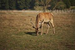 S'érafler le mâle de cerfs communs rouges Images libres de droits