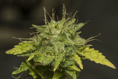 S Α γ Ε ποικιλία των λουλουδιών μαριχουάνα Στοκ φωτογραφία με δικαίωμα ελεύθερης χρήσης