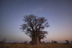 ` S баобаба под звездами в голубом часе Стоковое Изображение RF