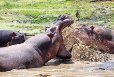` S гиппопотама воюя при оголенные зубы и вода брызгая в южном Luangwa, Замбии Стоковая Фотография RF