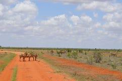 ` S зебры идя на саванну, Кению Стоковые Изображения RF