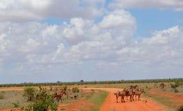 ` S зебры идя на саванну, Кению Стоковое фото RF