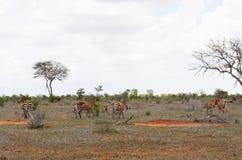 ` S зебры идя на саванну, Кению Стоковые Изображения