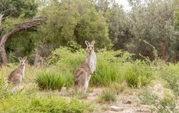 ` S 2 кенгуру в одичалом Стоковое Фото