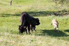 ` S коровы Стоковое Изображение