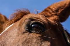 ` S лошади наблюдает - портрет лошади Стоковые Изображения RF