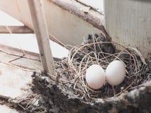 ` S птицы eggs в гнезде соломы, построенном на крыше Стоковые Фото