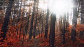 ` S солнца излучает в лесе осени стоковая фотография rf