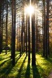 ` S Солнця излучает светить через деревья в лесе стоковые изображения