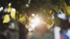 ` S Солнця излучает выходящ сквозь отверстие листья дерева акции видеоматериалы