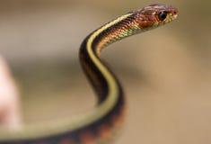 змейка s форменная Стоковая Фотография