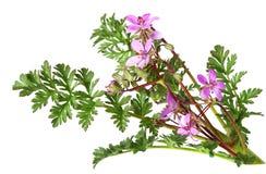 аист цветка s счета одичалый Стоковая Фотография
