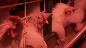 Κοτόπουλα που τρώνε τα τρόφιμα στο αγρόκτημα Κοτόπουλο που τρώει τα τρόφιμα στο αγρόκτημα με τα αυγά στο δίσκο απόθεμα βίντεο