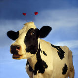 S-1585-Cow com corações Imagem de Stock