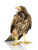哈里斯鹰s 免版税库存图片