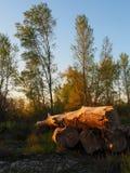 Słabego lekkiego buziaka stary drewno w lesie Obrazy Royalty Free