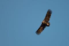` S, adalberti d'Aquila, aigle impérial ibérien, envergure d'Adalbert images libres de droits