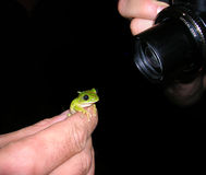 It's all in the details!. Taking portrait of a tree frog Stock Image
