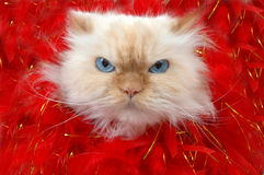 That's all folks!. Lexus the cat sticks her head though a hole of red feathers. She has big blue eyes. lexus Stock Photos