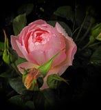 ` S alter Meister der Renaissance malende Rosarose Watercolour stockbild