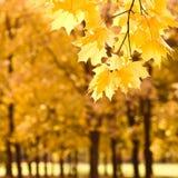 S13 autumn maple Stock Images