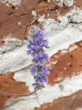 Purple flowers on the brick wall stock photography