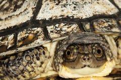 s blanding żółw Zdjęcie Royalty Free