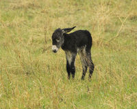 It`s a blustery day- Baby Donkey. Newborn baby burrow in the rain Royalty Free Stock Image