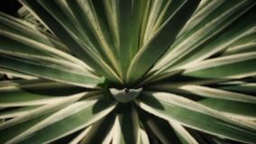 It`s called the Agave Azul Tequilana. A plant local to Seychelles royalty free stock images