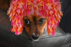 Little puppy dog with colorful carnival feather wig Stock Image