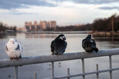 Its Cold.Three pigeons sit on the fence of the bridge. stock photography