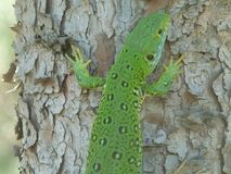 Beautiful Lizard in pine forest head-view. It`s a colourful lizard in a pine forest, vertebrates, Herpetology, squamates, BBA - Algeria Royalty Free Stock Photos