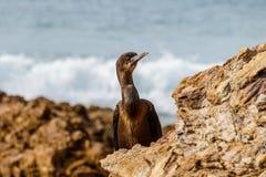 ` S Cormorant di Brandt fra le rocce a Crystal Cove Park, California Fotografia Stock Libera da Diritti