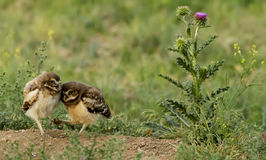 Cuddle time for Burrowing Owlets. It`s cuddle time for a pair of Burrowing Owlets near the thistle flower stock image