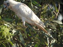 ` S d'Australie occidentale d'oiseau peu de corella image libre de droits