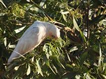 ` S d'Australie occidentale d'oiseau peu de corella photos stock