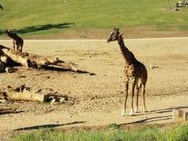 Baby Giraffe Royalty Free Stock Photo