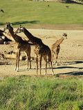 Family of Giraffe& x27;s royalty free stock photography