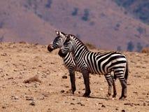 ` S da zebra na cratera de Ngorongoro imagem de stock royalty free