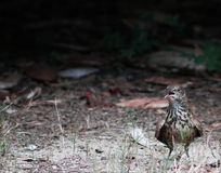 It's dark in there! Juvenile Thrasher Royalty Free Stock Photo
