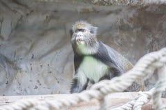 ` S De Brazza Affe sehr, der sorgfältig etwas aufpasst Stockfotos