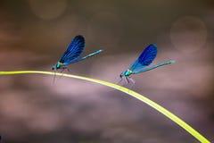 ` S de deux libellules Photo libre de droits