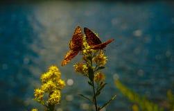 ` S de dos mariposas que comparte una bebida fotografía de archivo libre de regalías
