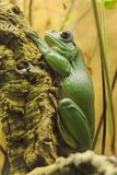 ` S de grenouille se reposant sur un arbre photo libre de droits