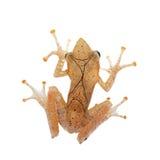 ` S de Gunther fouettant la grenouille, arbre-grenouille montane de heure-verre, eques de Taruga sur le blanc Photographie stock libre de droits