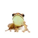 ` S de Gunther fouettant la grenouille, arbre-grenouille montane de heure-verre, eques de Taruga sur le blanc Image stock