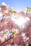 ` S de rhododendron fleurissant pendant mai en Estonie Photographie stock
