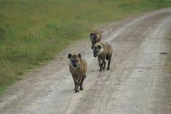 ` S de três hienas em uma estrada Fotos de Stock Royalty Free